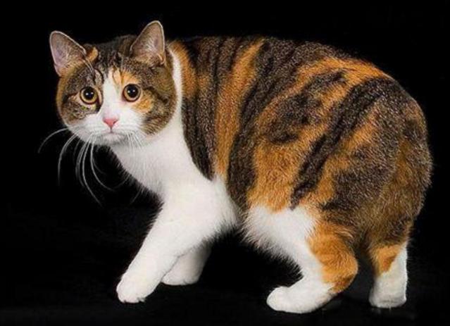 世界十大最名貴貓,都好喜歡(多圖)