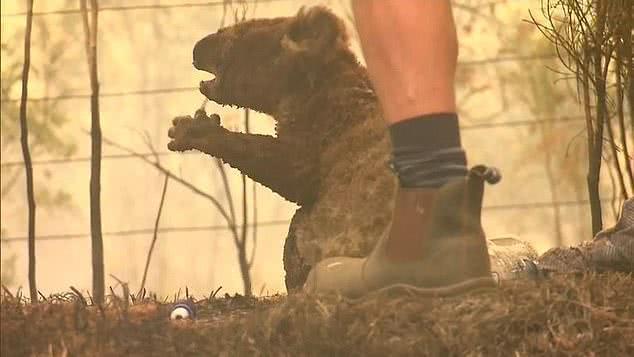 澳洲考拉生命最后一刻照片公开,闭眼默默吃着树叶,眼角渗着眼泪